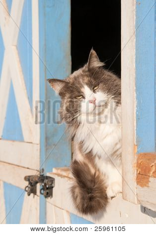 Diluted calico cat sitting on a half door of a blue barn, peeking out at the viewer