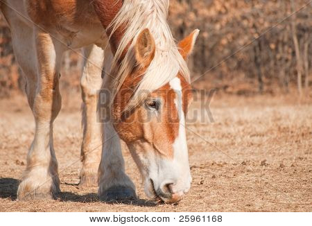 Close up image of a beautiful blond belgian Draft horse nibbling on grass in a dry winter pasture