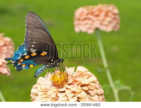 Pipevine Swallowtail feeding on a Zinnia flower in summer garden