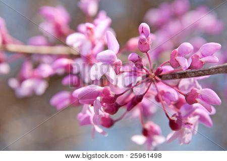 Closeup of Eastern Redbud flowers in bloom