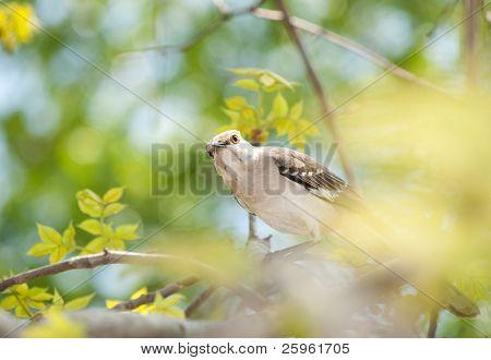 Northern Mockingbird peeking through leaves