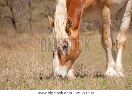 Belgian Draft horse on early spring pasture