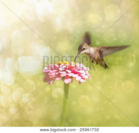 Dreamy image of a tiny female Hummingbird feeding on a pink Zinnia