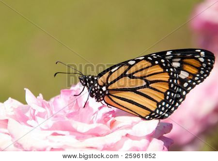 Danaus plexippus, Monarch butterfly, on a pale pink rose