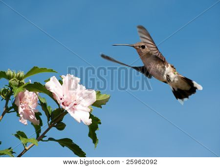 Hummingbird getting ready to feed on a light pink Hibiscus flower