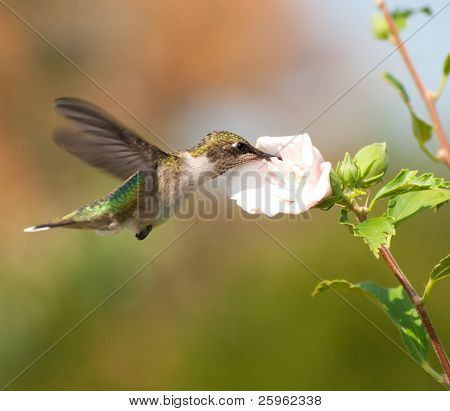 Young male Hummingbird feeding on an Althea flower