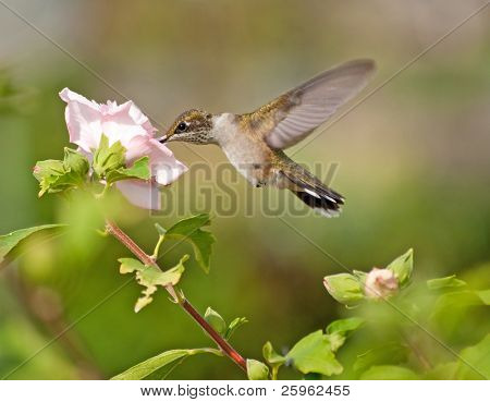 Young male Hummingbird feeding on a light pink hibiscus flower