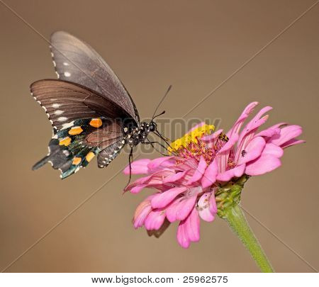 Pipevine swallowtail butterfly feeding on a pink Zinnia against muted color fall background