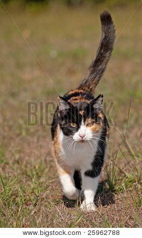 Tri-colored calico cat running towards the viewer with her tail confidently up high
