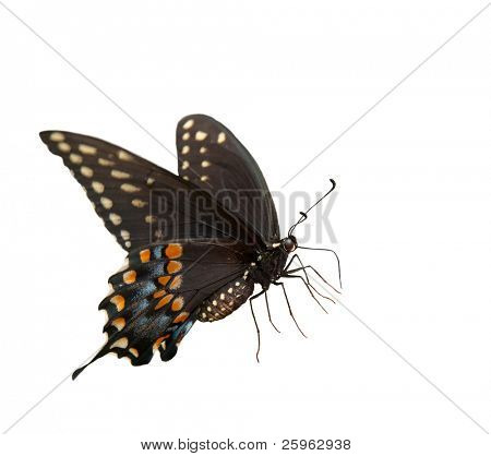 Beautiful Eastern Black Swallowtail butterfly on white