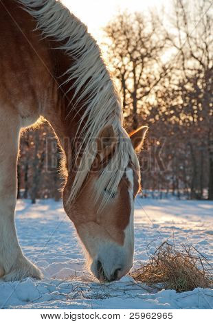 Belgian draft horse nibbling on his hay on a cold, glittery winter morning, lit by rising sun