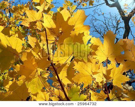 Golden leafes on blue sky