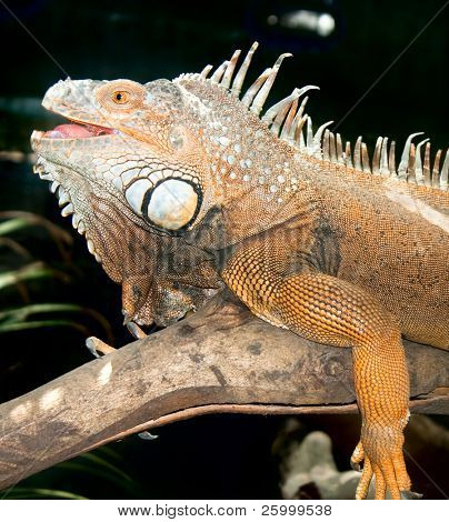 Rhinoceros Iguana (cyclura cornuta) , Goa, India