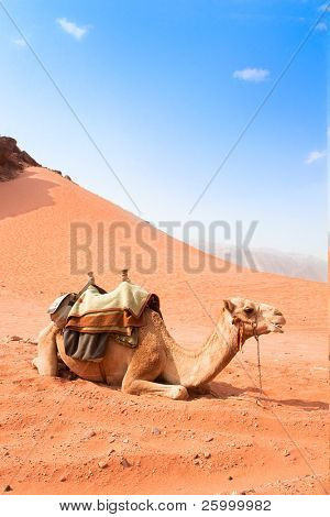 Camel  take a rest in Wadi Rum red desert, Jordan,