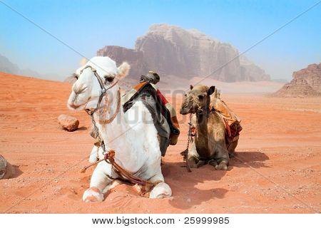 Camels take a rest in Wadi Rum red desert, Jordan