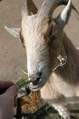 """image of pygmy goat  - """"Pygmy Goat""""Capra hicus eats some hey from a persons hand - JPG"""