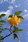 picture of datura  - Golden Trumpet Tree aka  - JPG