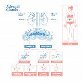 Adrenal Glands Of Endocrine System.medical Science Vector Illustration Diagram.biological Scheme Wit poster