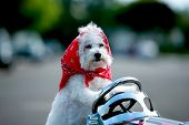 foto of blood drive  - a bichon frise dog wears her red bandana as she drives her hot rod pedal car around town - JPG