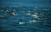 stock photo of porpoise  - A Large POD of California common dolphin  - JPG