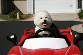 Fifi the pure breed Bichon Frise dog, smiles as she enjoys a ride in her Hot Rod Sports Car poster