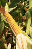 Постер, плакат: свежие unpicked «фидер кукуруза» растет в поле Фидер кукурузы используется для корма животных продукт