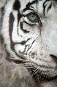 picture of tiger eye  - White tiger  - JPG