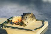 Cute House Grey Mouse Or Rat, Small Rodent Animal, Sitting At String Mousetrap With Bait Indoors On  poster