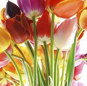 Постер, плакат: Красивые весенние букеты красочные тюльпаны на белом фоне