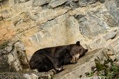 A Brown Bear (ursus Arctos) Lying Down On A Rock Resting Or Sleeping In A Park In The Belgian Ardenn poster