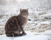 Blue tabby cat in snow on a foggy winter morning