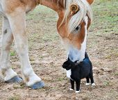 picture of black horse  - Big Belgian Draft horse curiously nibbling on a black - JPG
