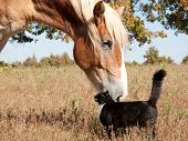 picture of gentle giant  - Small black and white cat rubbing himself against a huge Belgian Draft horse - JPG