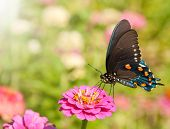 Blue iridescent Pipevine Swallowtail, Battus philenor, feeding on a hot pink Zinnia against a garden