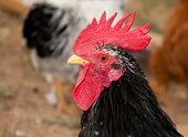 foto of banty  - Handsome young black bantam rooster - JPG