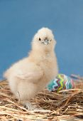 Adorable fluffy Easter chick looking at the viewer, against blue background poster