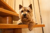 A Small Dog (norwich Terrier) Lies On A Wooden Staircase In The House And Looks At The Camera. poster