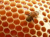 stock photo of honey bee hive  - Macro of working bee on  honeycells - JPG