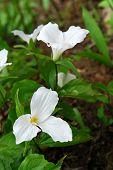 image of trillium  - White Trillium blooming in woodlands  - JPG