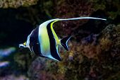 Moorish Idol - Zanclus Cornutus - Marine Fish Species, Common Inhabitant Of Tropical To Subtropical  poster