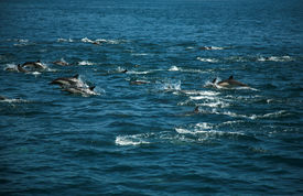 foto of cetacea  - A Large POD of California common dolphin  - JPG