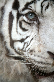 stock photo of tiger eye  - White tiger  - JPG