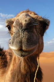 stock photo of barchan  - Arabian camel or Dromedary  - JPG