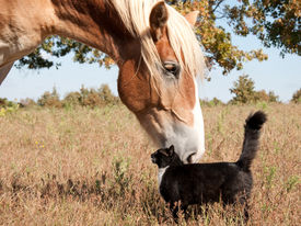 stock photo of gentle giant  - Small black and white cat rubbing himself against a huge Belgian Draft horse - JPG