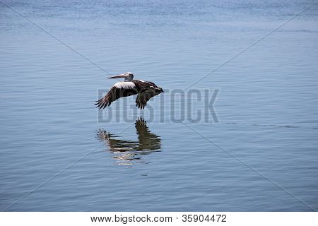 Pelican flying over sea water