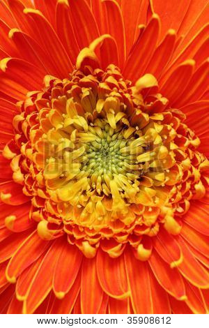 Extreme Closeup(macro) Photo Of Beautiful Gerbera Flower In Bright Red, Orange And Yellow Colors. Ge