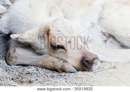 Sleeping Caribou