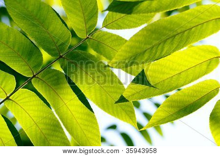 Close Up Of A Green Fresh Leaves