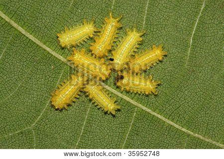 Postornata Larvae