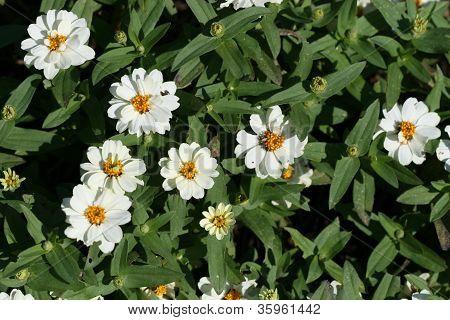 Madagascar Periwinkle Herb